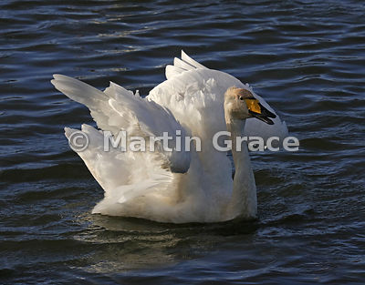 Whooper Swan (Cygnus cygnus) with ruffled feathers as it shakes its wings in late afternoon sunshine, Dumfries & Galloway, Sc...