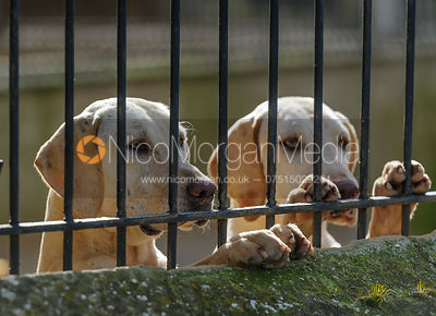Fitzwilliam hounds in the kennels