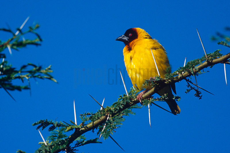 Masked Weaver Perched on a Thorn Tree