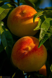 Ripe Peaches on the Tree #8