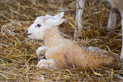 Newborn lamb laying on a bed of straw