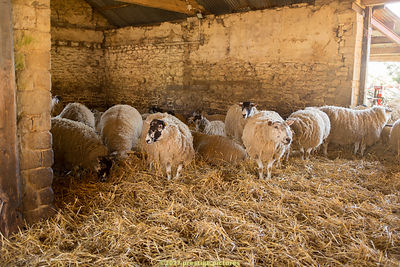 Ewes waiting to give birth in a barn at a farm lambing open day