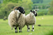Hexham Blackface ewe with Mule lamb at foot. Northumberland, UK.