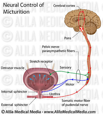 Neural control of micturition, labeled.