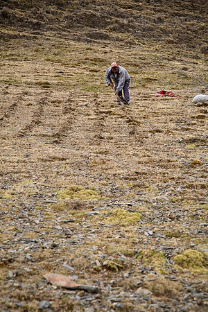 Planting crops in the mountains the old fashioned way, one seed at a time, Lares Trek, Andes Mountains, Peru