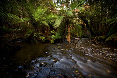 Temperate rain forest, Tasmania.