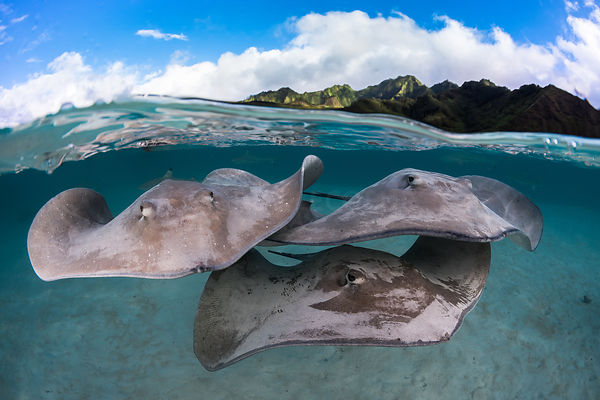 Sting rays in the lagoon of Moorea