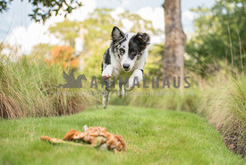 australian shepherd mid air pouncing on stuffed toy
