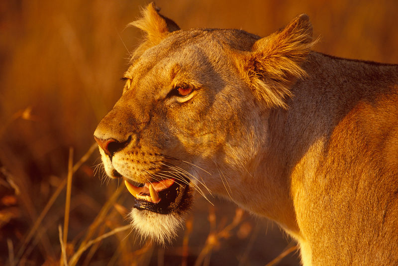 Portrait of a Lioness in Warm Light