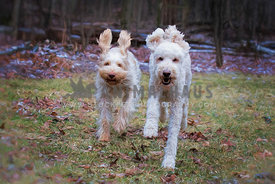 Overjoyed spinone italiano dog and golden doodle dog running in the forest