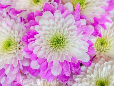Chrysanthemums photos