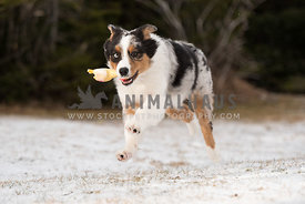 Australian Shepherd puppy runnin in snow