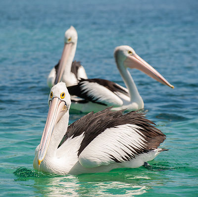 These pelicans were happy floating around on Merimbula Lake on the Sapphire Coast, NSW, Australia.
