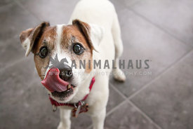 senior jack russell licking his nose indoors in natural light