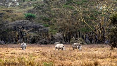 Three White Rhinos in Lake Nakuru Kenya