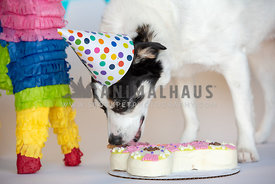 white dog with black face wearing party hat licking birthday cake
