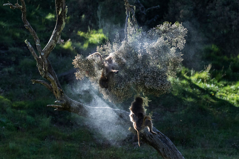 Gelada Baboons Jumping out of a Pollen-Laden Branch