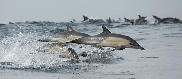 Common Dolphin, False Bay, South Africa