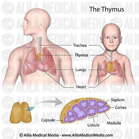 Thymus anatomy labeled.