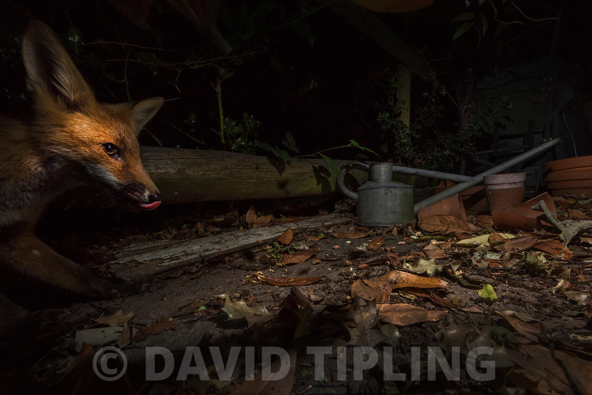 Red Fox Vulpes vulpes in urban garden Tunbridge Wells, Kent