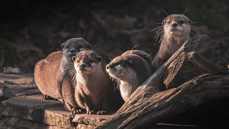 Otter Family at Sunset