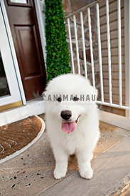 fluffy white great pyrenees puppy sitting on front porch with tongue out