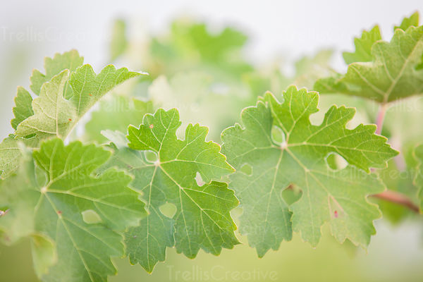 Close-up of delicate green grape leaves