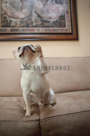 french bulldog or frenchie sitting in couch with map giving paw