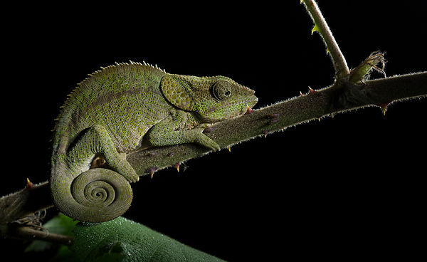 A Short Horned Chameleon seen roosting on low vegetation in Mitsinjo Reserve, Andasibe