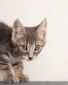 Brown tabby kitten close-up against white background
