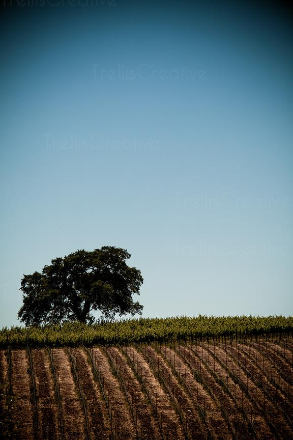 Single tree in vineyard against blue sky