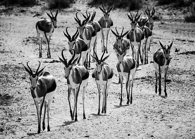04700-Antelopes_Laurent_Baheux