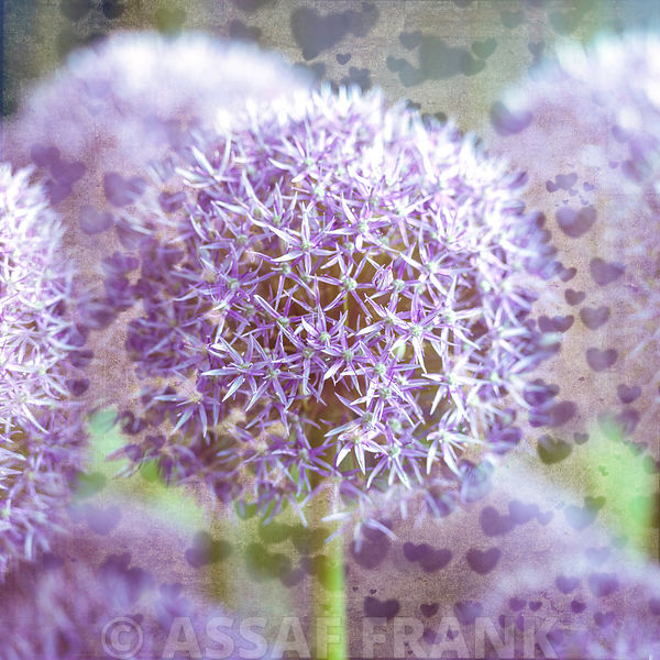 Beautiful Allium flowers