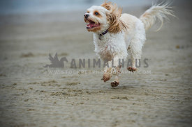 Maltese Cross running on the beach