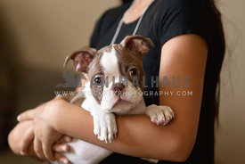boston-terrier-puppy-in-child-arms