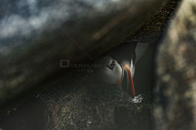 Atlantic puffin (Fratercula arctica) in nest burrow, Machias Seal Island, Bay of Fundy, New Brunswick, Canada, May.