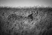 0554-Lioness_in_the_grass_Laurent_Baheux