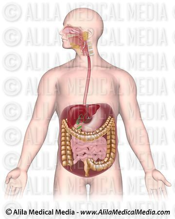 Digestive organs unlabeled.