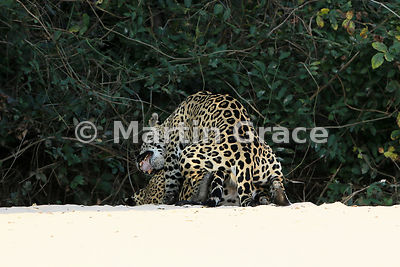Female Jaguar (Panthera onca) 'Hunter' (barely visible) is mated by 'Hero', Three Brothers River, Northern Pantanal, Mato Gro...