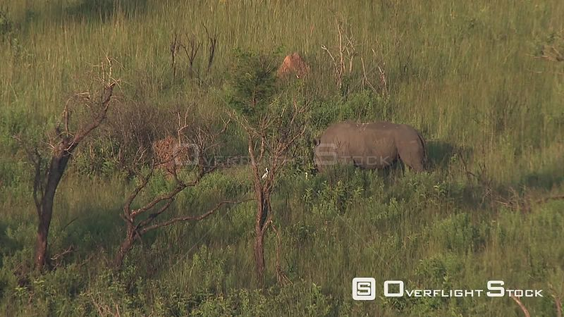 Aerial shot of a rhino in the bush Nelspruit Mpumalanga South Africa