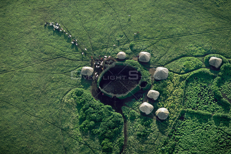 Aerial view of Masai camp with huts around a central coral and cattle being led out to graze, Crater Highlands, Ngorongoro Co...