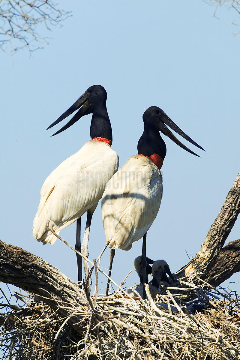 Jabiru Storks in Nest with Young, Transpantaneira Highway, Pantanal, Mato Grosso, Brazil