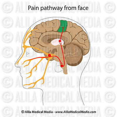 Pain pathways from the face