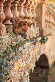 german shepherd dog looking over bridge into water