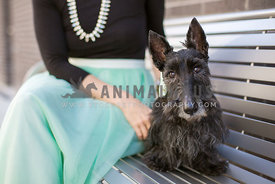 Scottish Terrier sits with owner in fancy outfit on a downtown bench