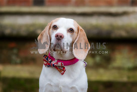 Female Beagle Portrait with bow tie