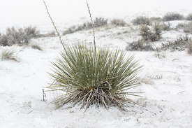 Kanab Yucca in Coral Pink Sand Dunes State Park