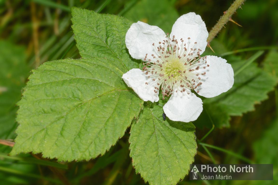 PHOTO NORTH | BRAMBLE 02A - Bramble flower [PREVIEW]