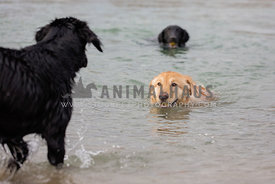 Dog swimming with other dogs