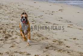 Boxer dog running on beach with mouth open and ears flapping